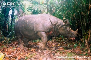 Indonesian-Javan-rhinoceros-in-clearing